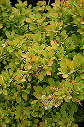Sunsation Japanese Barberry (Berberis thunbergii 'Sunsation') at Green Haven Garden Centre