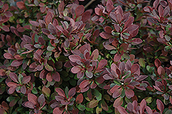 Royal Burgundy Japanese Barberry (Berberis thunbergii 'Gentry') at Green Haven Garden Centre