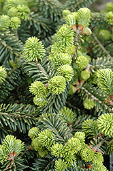 Dwarf Balsam Fir (Abies balsamea 'Nana') at Green Haven Garden Centre
