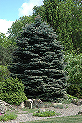 Fat Albert Blue Spruce (Picea pungens 'Fat Albert') at Green Haven Garden Centre