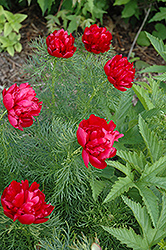 Double Fernleaf Peony (Paeonia tenuifolia 'Flore Plena') at Green Haven Garden Centre