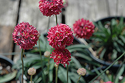 Joystick Red Sea Thrift (Armeria pseudarmeria 'Joystick Red') at Green Haven Garden Centre