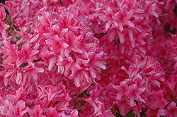 Rosy Lights Azalea (Rhododendron 'Rosy Lights') at Green Haven Garden Centre