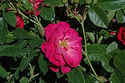 John Cabot Rose (Rosa 'John Cabot') at Green Haven Garden Centre