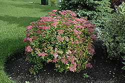 Goldflame Spirea (Spiraea x bumalda 'Goldflame') at Green Haven Garden Centre