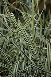 Variegated Oat Grass (Arrhenatherum elatum 'Variegatum') at Green Haven Garden Centre