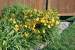 Stella de Oro Daylily (Hemerocallis 'Stella D'Oro') at Green Haven Garden Centre