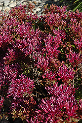 Dragon's Blood Stonecrop (Sedum spurium) at Green Haven Garden Centre