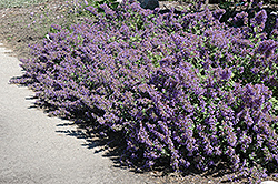 Walker's Low Catmint (Nepeta x faassenii 'Walker's Low') at Green Haven Garden Centre
