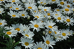 Silver Princess Shasta Daisy (Leucanthemum x superbum 'Silver Princess') at Green Haven Garden Centre