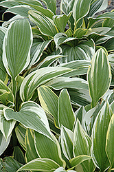 White-Variegated Hosta (Hosta fortunei 'Albomarginata') at Green Haven Garden Centre