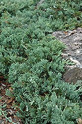 Blue Rug Juniper (Juniperus horizontalis 'Wiltonii') at Green Haven Garden Centre