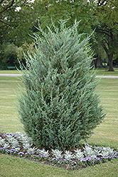 Moonglow Juniper (Juniperus scopulorum 'Moonglow') at Green Haven Garden Centre