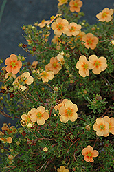 Orange Whisper Potentilla (Potentilla fruticosa 'Orange Whisper') at Green Haven Garden Centre