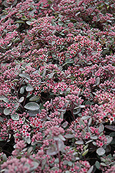 Vera Jameson Stonecrop (Sedum 'Vera Jameson') at Green Haven Garden Centre
