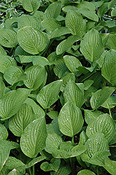 Royal Standard Hosta (Hosta 'Royal Standard') at Green Haven Garden Centre