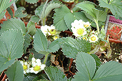 Kent Strawberry (Fragaria 'Kent') at Green Haven Garden Centre