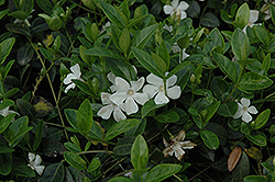 White Periwinkle (Vinca minor 'Alba') at Green Haven Garden Centre