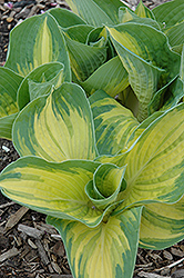 Great Expectations Hosta (Hosta 'Great Expectations') at Green Haven Garden Centre