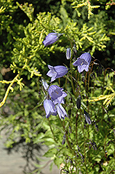 Bavaria Blue Creeping Bellflower (Campanula cochleariifolia 'Bavaria Blue') at Green Haven Garden Centre
