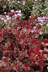 Red Carpet Stonecrop (Sedum spurium 'Red Carpet') at Green Haven Garden Centre