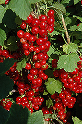 Red Lake Red Currant (Ribes sativum 'Red Lake') at Green Haven Garden Centre