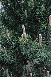Tannenbaum Mugo Pine (Pinus mugo 'Tannenbaum') at Green Haven Garden Centre
