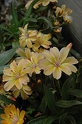 Little Peach Bitteroot (Lewisia 'Little Peach') at Green Haven Garden Centre