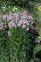 Obedient Plant (Physostegia virginiana) at Green Haven Garden Centre