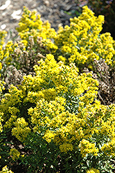 Goldrush Goldenrod (Solidago cutleri 'Goldrush') at Green Haven Garden Centre