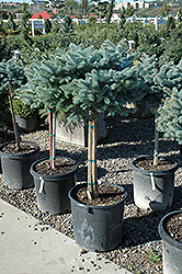 Globe Blue Spruce (Top Grafted) (Picea pungens 'Globosa (tree form)') at Green Haven Garden Centre