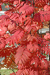 Pyramidal Mountain Ash (Sorbus aucuparia 'Fastigiata') at Green Haven Garden Centre
