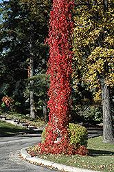 Virginia Creeper (Parthenocissus quinquefolia) at Green Haven Garden Centre