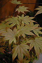Red-Leaf Japanese Maple (Acer palmatum 'Atropurpureum') at Green Haven Garden Centre