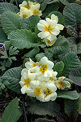 Wanda Primrose (Primula 'Wanda') at Green Haven Garden Centre