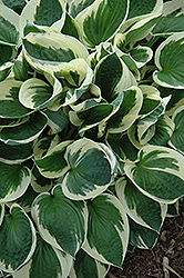 Patriot Hosta (Hosta 'Patriot') at Green Haven Garden Centre