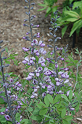 Purple Smoke False Indigo (Baptisia 'Purple Smoke') at Green Haven Garden Centre