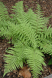 Tatting Fern (Athyrium filix-femina 'Frizelliae') at Green Haven Garden Centre
