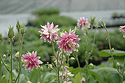 Nora Barlow Columbine (Aquilegia vulgaris 'Nora Barlow') at Green Haven Garden Centre