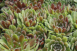 Ashes of Roses Hens And Chicks (Sempervivum 'Ashes of Roses') at Green Haven Garden Centre