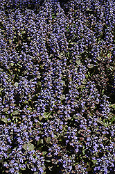 Metallica Crispa Bugleweed (Ajuga pyramidalis 'Metallica Crispa') at Green Haven Garden Centre