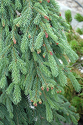 Weeping White Spruce (Picea glauca 'Pendula') at Green Haven Garden Centre