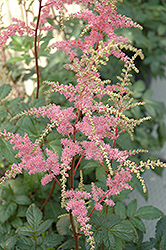 Bressingham Beauty Astilbe (Astilbe x arendsii 'Bressingham Beauty') at Green Haven Garden Centre