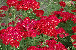 Pomegranate Yarrow (Achillea millefolium 'Pomegranate') at Green Haven Garden Centre