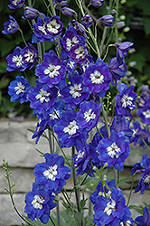 Blue Bird Larkspur (Delphinium 'Blue Bird') at Green Haven Garden Centre