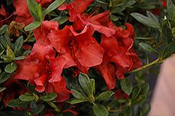 Encore Autumn Bravo Azalea (Rhododendron 'Conlen') at Green Haven Garden Centre