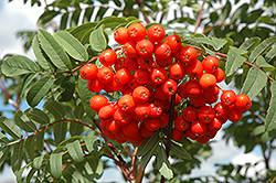 Cardinal Royal Mountain Ash (Sorbus aucuparia 'Cardinal Royal') at Green Haven Garden Centre