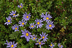 Blue Daisy (Felicia amelloides) at Green Haven Garden Centre