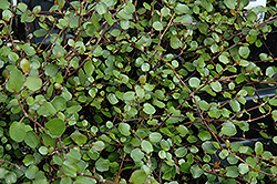 Wire Vine (Muehlenbeckia complexa) at Green Haven Garden Centre