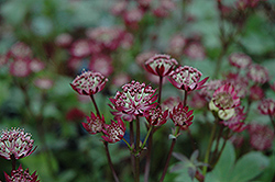 Ruby Wedding Masterwort (Astrantia major 'Ruby Wedding') at Green Haven Garden Centre